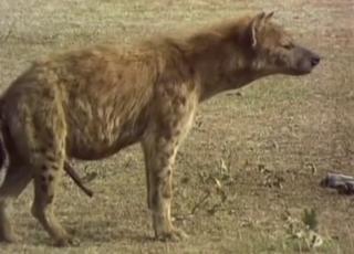 Horny hyenas fucking in the wilderness