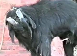 Video sex animal XNXX Animal