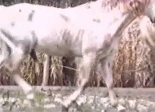 Two white horses fucking each other